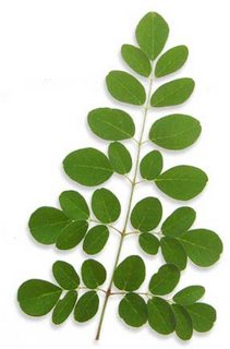natural moringa extract superfood